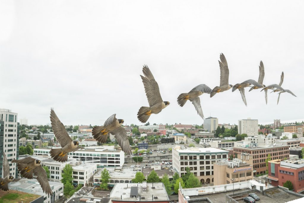 An Introduction to Tacoma's Peregrine Falcons