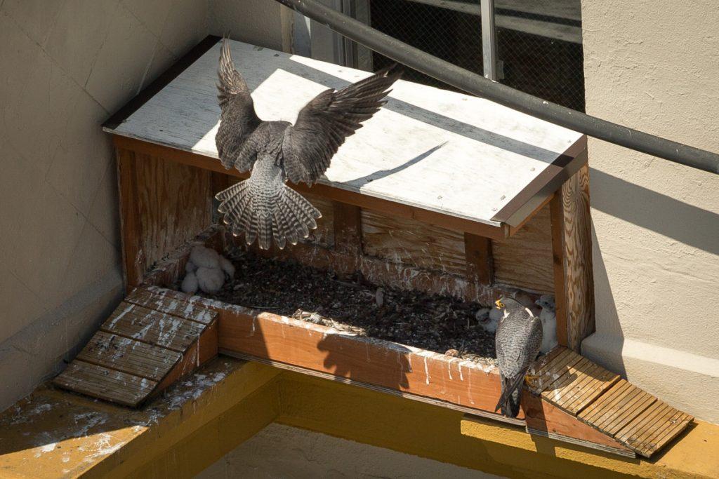 Tacoma Peregrine Falcons_24
