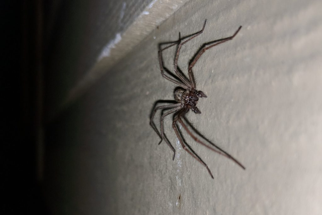 Giant House Spider tacoma